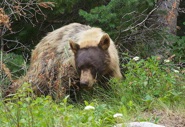 Cinnamin colored black bear in Grand Tetons National Park, July 2012